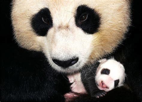 images of panda bears images of panda bears www pixshark images