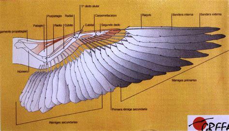 el ala rota mis amigas las palomas tratamiento ala rota