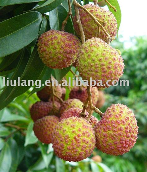 m y fruit ltd fresh sweet and small seed lichee products china
