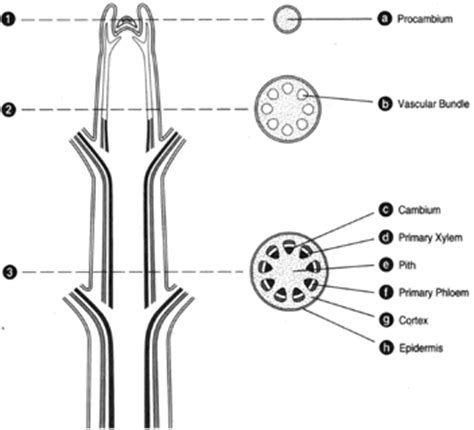 longitudinal section of stem the woody dicot stem stems introduction to botany
