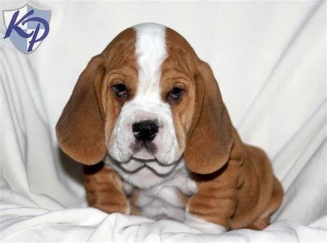 basset hound pug mix puppies 15 bulldog cross breeds you ve got to see to believe
