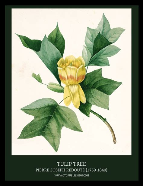 tulip trees books 71 best images about redoute on flower prints