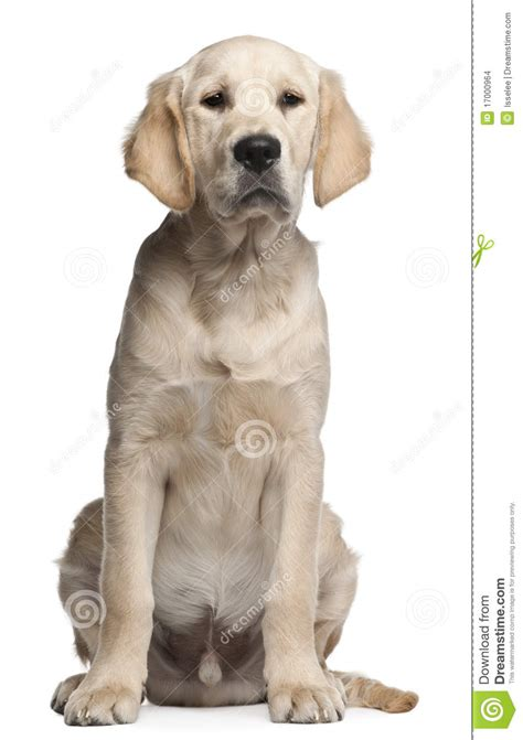 golden retriever at 5 months golden retriever puppy 5 months sitting stock images image 17000964