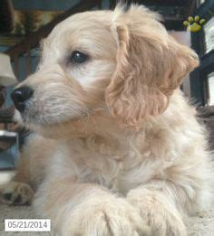 amish puppies for sale 1000 ideas about mini goldendoodle on golden doodle puppies labradoodles