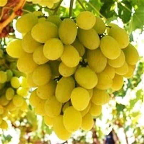 varieta di uva da tavola coltivazione uva da tavola curiosit 224 uva