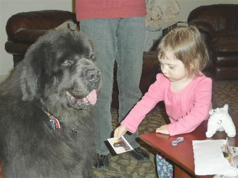 newfoundland puppies nj newfoundland comforts children at ronald mcdonald house grouchy puppy 174