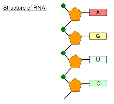 rna structure diagram ribosomes