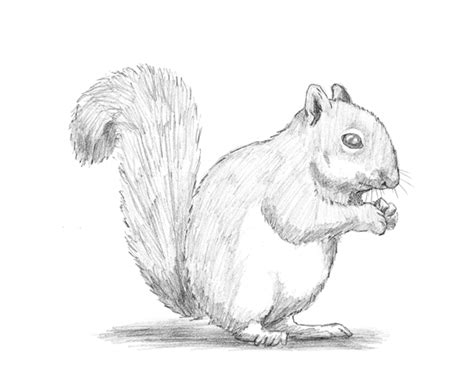 how to a squirrel how to draw a squirrel