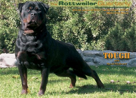 raising rottweilers talking with ruelmann rottweilers about
