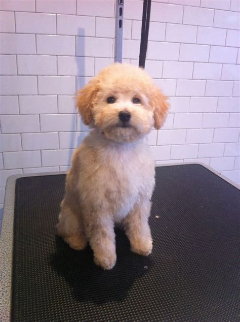 hair cut for maltese around the comb over 3 month olds and poodle puppies on pinterest