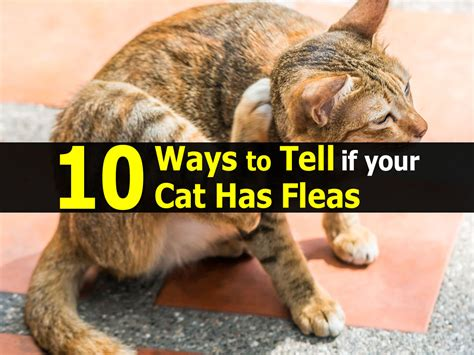 how to if your has fleas how to tell if your cat has fleas
