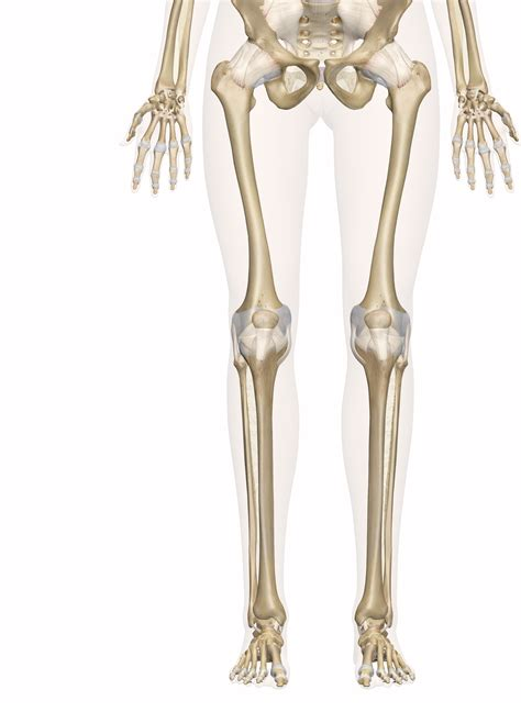 A Of Bones bones of the leg and foot interactive anatomy guide