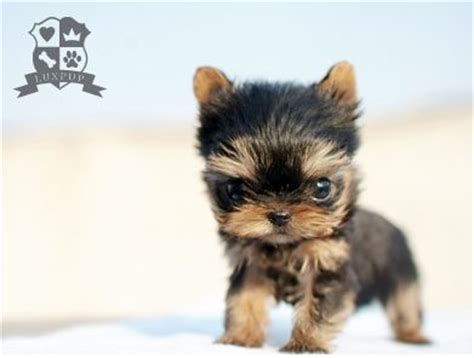 size of teacup yorkie teacup size yorkie flickr photo