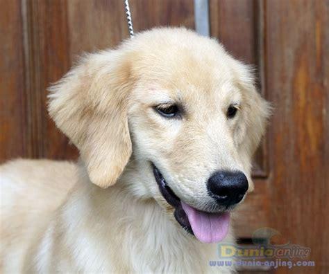 sheepdog puppies for adoption ready for adoption miniature pinscher shetland sheepdog sheltie breeds picture