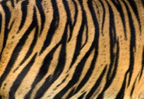 pattern tiger photoshop white tiger skin texture