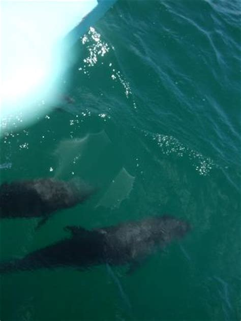 boat riding wave dolphins riding the boats waves picture of polperro