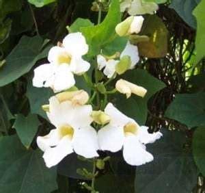 Bibit Tanaman Buah White Pome 40cm jual bibit unggul tanaman thunbergia putih white clock