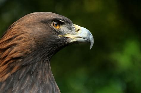 bird l datei steinadler aquila chrysaetos closeup2 richard bartz