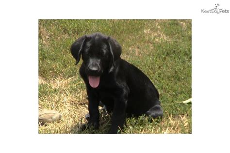 black lab puppy names black lab names yellow lab names and chocolate lab names breeds picture