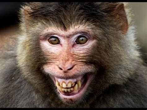 monkeys  laugh hysterically  human youtube