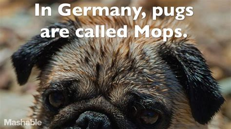pug information and facts 16 totally true facts about pugs