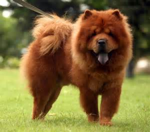 puppy chow chow chow breeds sweet chow chow dogs wallpaper