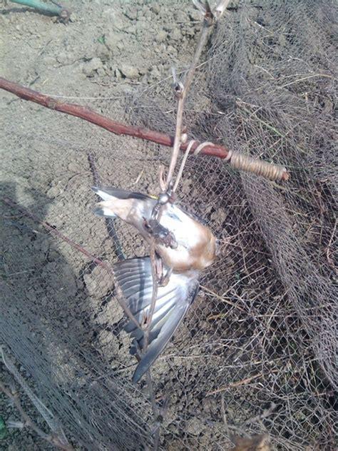 riproduzione cardellini di cattura in gabbia a caccia di cardellini denunciati da cfs molise ansa it