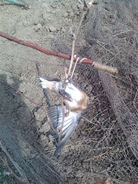 riproduzione cardellini in gabbia a caccia di cardellini denunciati da cfs molise ansa it