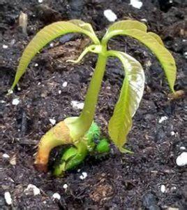 Media Tanam Pak Tani cara menanam mangga dari biji di pot dan lahan terbuka
