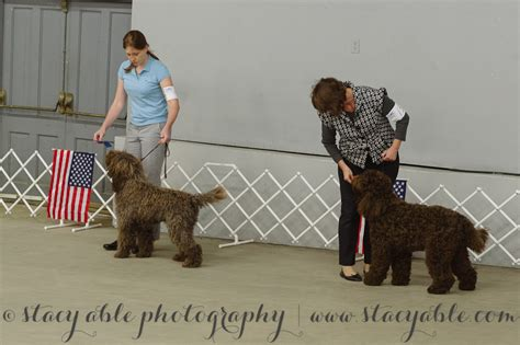 ukc dogs barbet bric and cinna at the peoria ukc show american barbet
