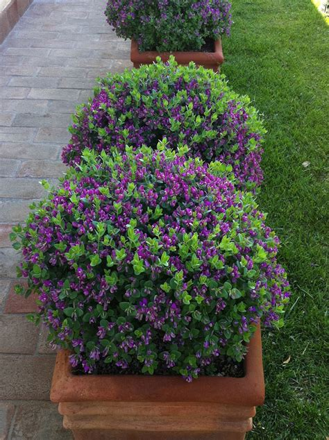 Shrubs For Planters by Polygala Bibi