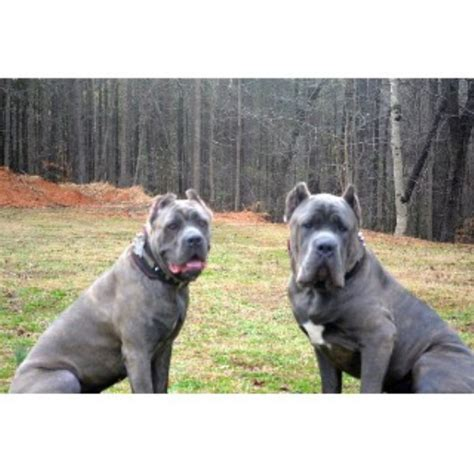 corso puppies for sale in ga hierarchy kennel corso breeder in atlanta listing id 22413
