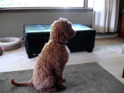smeraglia puppy mill zeke the goldendoodle was soo excited came home funnycat tv