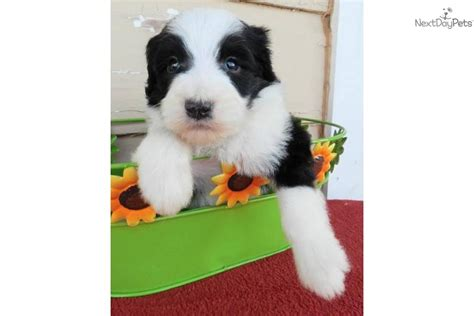 sheepadoodle puppies available now shepadoodle puppy for sale near abilene a6ac59c6 4251