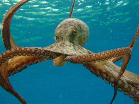 octopus l le saviez vous l origine du mot pieuvre