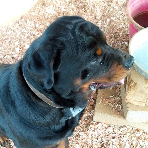 rottweiler puppies for sale in ga teegan rottweilers llc