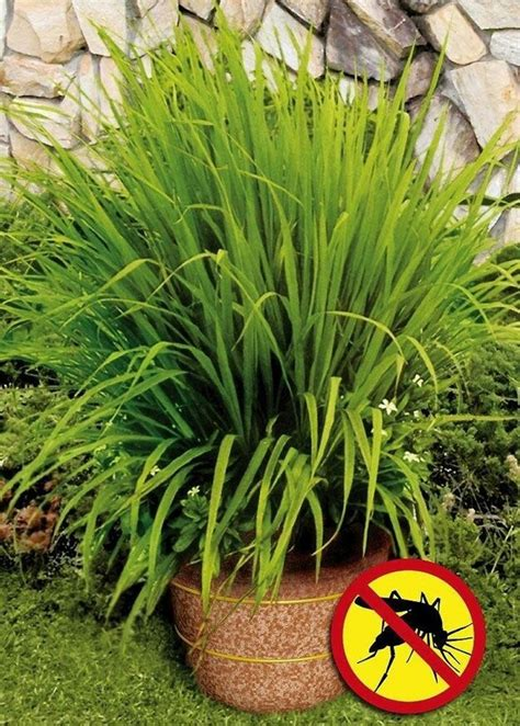 plants to keep mosquitoes away plant lemongrass to keep mosquitoes away outdoor decorating