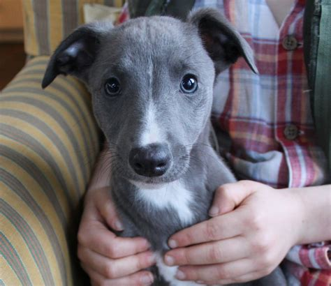 puppy blues blue whippet puppy for sale exeter pets4homes