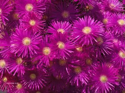 fiori tappezzanti ratti alessandro floricoltura como piante