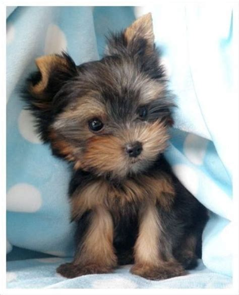 teacup yorkie best 25 teacup puppies ideas on tiny puppies