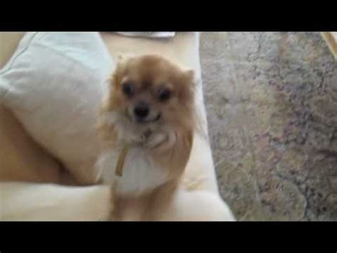 long hair chihuahua hair growth what to expect mouris the long haired chihuahua youtube
