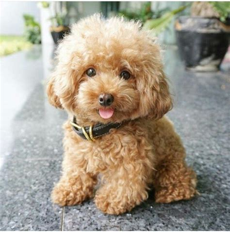 how much are havanese puppies uk the 25 best cockapoo puppies ideas on havanese puppies cavapoo puppies