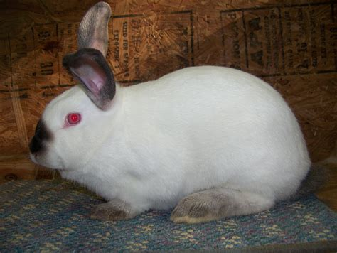 breeds for sale rabbits for sale usa rabbit breeders