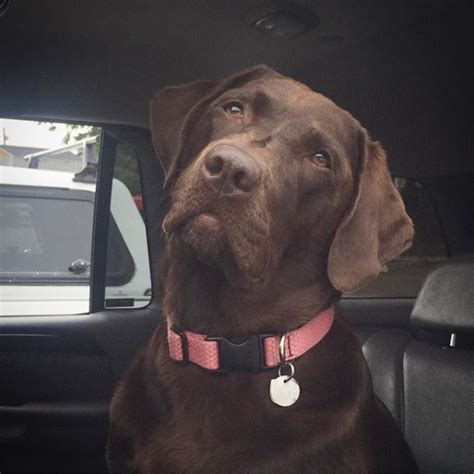 how bad is chocolate for dogs 10 chocolate labs teach you why chocolate is so bad for dogs