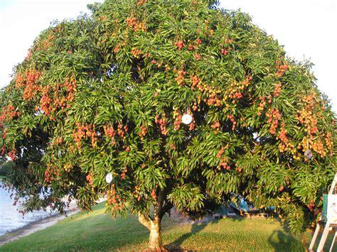 lychee fruit inside lychee fruit origin including powerful health benefits