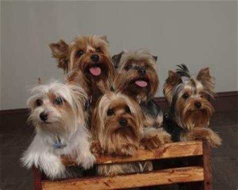 yorkie origin yorkies info rhr terriers