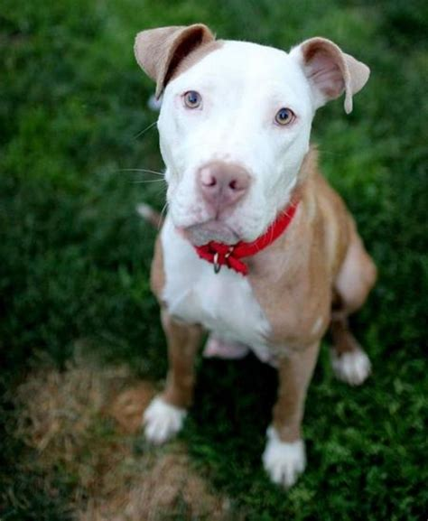 how many puppies do pitbulls in the litter elizabeth the adoptable pit bull mix dogs daily puppy