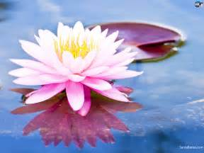 What Are Lotus Lotus Wallpaper 3