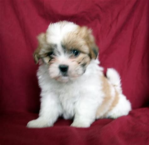 sheshan teddy bear puppies puppies for sale puppies for sale