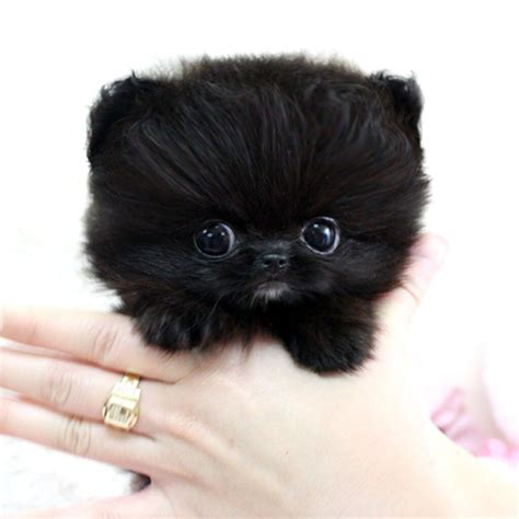 teacup pomeranian clothes sweet black puppy fluff animals
